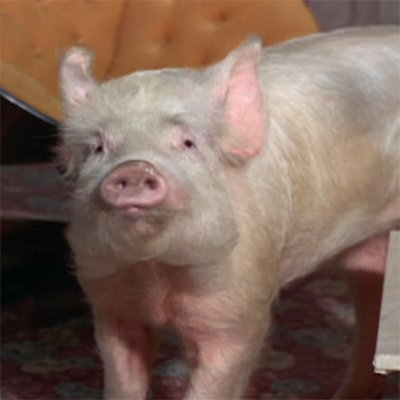 10 things you never knew about Arnold the Pig, the true star